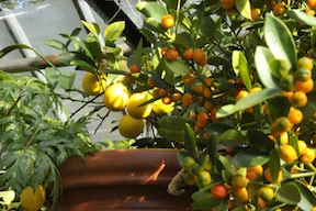 Citrus, Fruit Trees, Berries and Grapes