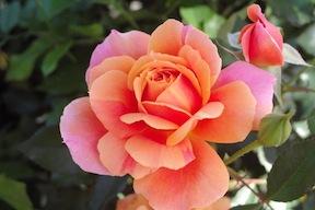 Hybrid Teas, Grandifloras, Floribundas, Landscape shrub, and Climber Roses