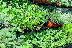 GMO Free Veggies & Herbs